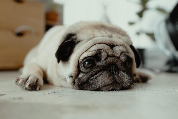 悲しそうな顔で床に伏せるパグを映したタイトル画像