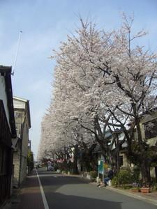 知られざる桜並木