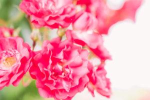 よいうみバラ公園の薔薇