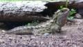 [ムカシトカゲ][ムカシトカゲ科][ムカシトカゲ目][爬虫類][ニュージーランド]