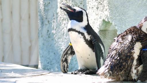 [ケープペンギン][ペンギン科][ペンギン目][鳥類][上野動物園]