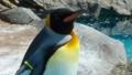 [オウサマペンギン][ペンギン科][ペンギン目][鳥類][東武動物公園]