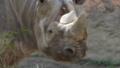 [クロサイ][サイ科][ウマ目][哺乳類][天王寺動物園]