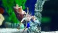 [ソメンヤドカリ][ヤドカリ科][エビ目][軟甲類][東京タワー水族館]