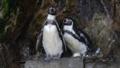 [フンボルトペンギン][ペンギン科][ペンギン目][鳥類][伊豆三津シーパラダイ]