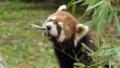 [レッサーパンダ][レッサーパンダ科][ネコ目][哺乳類][多摩動物公園]