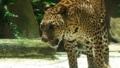[ヒョウ][ネコ科][ネコ目][哺乳類][Singapore Zoo]