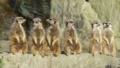[ミーアキャット][マングース科][ネコ目][哺乳類][長崎バイオパーク]