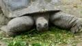 [アルダブラゾウガメ][リクガメ科][カメ目][爬虫類][Singapore Zoo]