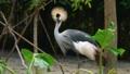 [ホオジロカンムリヅル][ツル科][ツル目][鳥類][Singapore Zoo]