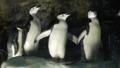 [ヒゲペンギン][ペンギン科][ペンギン目][鳥類][名古屋港水族館]