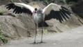 [ホオジロカンムリヅル][ツル科][ツル目][鳥類][伊豆シャボテン公園]