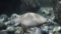 [タコノマクラ][タコノマクラ科][タコノマクラ目][ウニ類][江ノ島水族館]