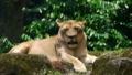 [ライオン][ネコ科][ネコ目][哺乳類][Singapore Zoo]