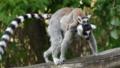 [ワオキツネザル][キツネザル科][サル目][哺乳類][Tierpark Berlin]
