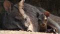 [パルマワラビー][カンガルー科][カンガルー目][哺乳類][伊豆シャボテン公園]
