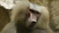 [マントヒヒ][オナガザル科][サル目][哺乳類][Singapore Zoo]