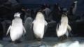 [アデリーペンギン][ペンギン科][ペンギン目][鳥類][名古屋港水族館]