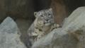 [ユキヒョウ][ネコ科][ネコ目][哺乳類][王子動物園]