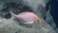 [ピンクマオマオ][ハタ科][スズキ目][魚類][海遊館]