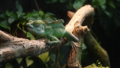 [グリーンバシリスク][イグアナ科][トカゲ目][爬虫類][Wilhelma Zoo]