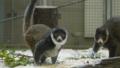 [マングースキツネザル][キツネザル科][サル目][哺乳類][Tierpark Berline]