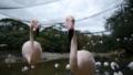 [オオフラミンゴ][フラミンゴ科][フラミンゴ目][鳥類][ネオパーク沖縄]