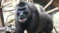 [ドリル][オナガザル科][サル目][哺乳類][Zoo Frankfurt]