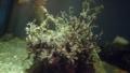 [オキノテヅルモヅル][テヅルモヅル科][カワクモヒトデ目][クモヒトデ類][江ノ島水族館]