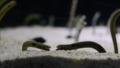 [チンアナゴ][アナゴ科][ウナギ目][魚類][すみだ水族館]