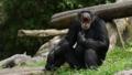 [チンパンジー][ヒト科][サル目][哺乳類][Singapore Zoo]
