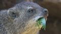 [ケープハイラックス][イワダヌキ科][イワダヌキ目][哺乳類][天王寺動物園]