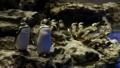 [マゼランペンギン][ペンギン科][ペンギン目][すみだ水族館]