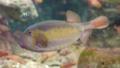 [ハコフグ][ハコフグ科][フグ目][魚類][江ノ島水族館]