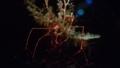 [サナダミズヒキガニ][ミズヒキガニ科][エビ目][甲殻類][江ノ島水族館]