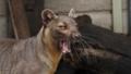 [フォッサ][マダガスカルマングー][ネコ目][哺乳類][上野動物園]