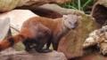 [ワオマングース][マダガスカルマングー][ネコ目][哺乳類][Koelner Zoo]