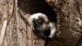 [ワタボウシタマリン][オマキザル科][サル目][哺乳類][南房パラダイス]