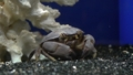 [スベスベマンジュウガ][オウギガニ科][エビ目][甲殻類][江ノ島水族館]