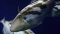 [ウマヅラハギ][カワハギ科][フグ目][魚類][江ノ島水族館]