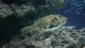 [ケショウフグ][フグ科][フグ目][魚類][サンシャイン水族館]