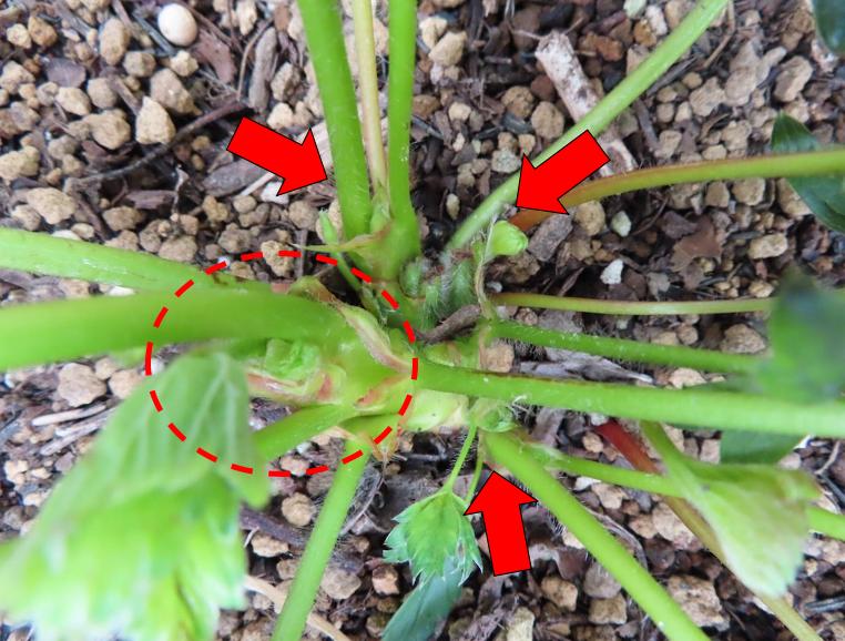 脇 どれ トマト 芽