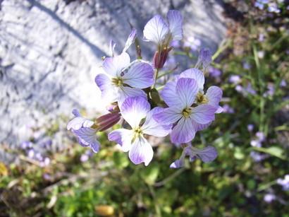 乱礁遊歩道で見かけた淡い紫の花@室戸岬
