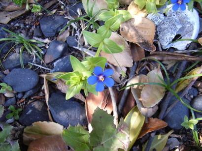乱礁遊歩道で見かけた濃い青色の花@室戸岬