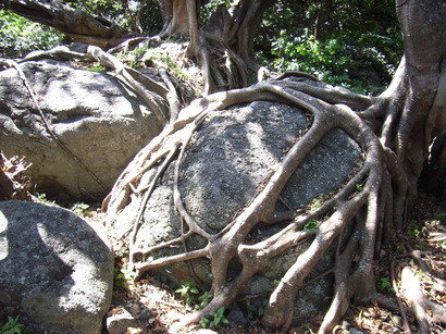 アコウの木の根に捕らわれた岩@室戸岬