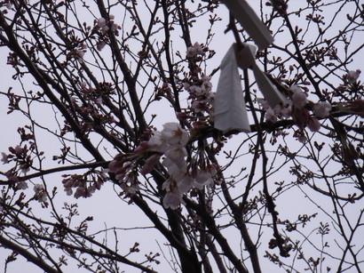 桜の木に結び付けられたおみくじ@霊山寺