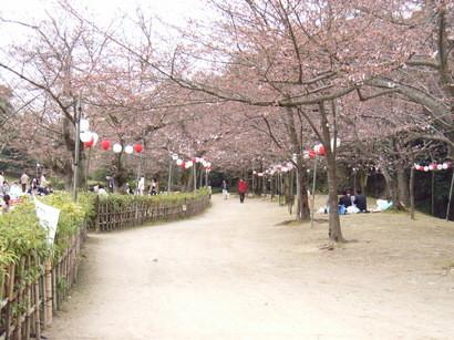 栗林公園の桜並木(まだ三分咲き)
