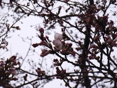 咲き始めの桜@栗林公園