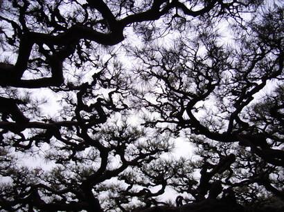 箱松を下から眺める@栗林公園