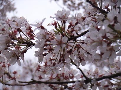 桜@栗林公園